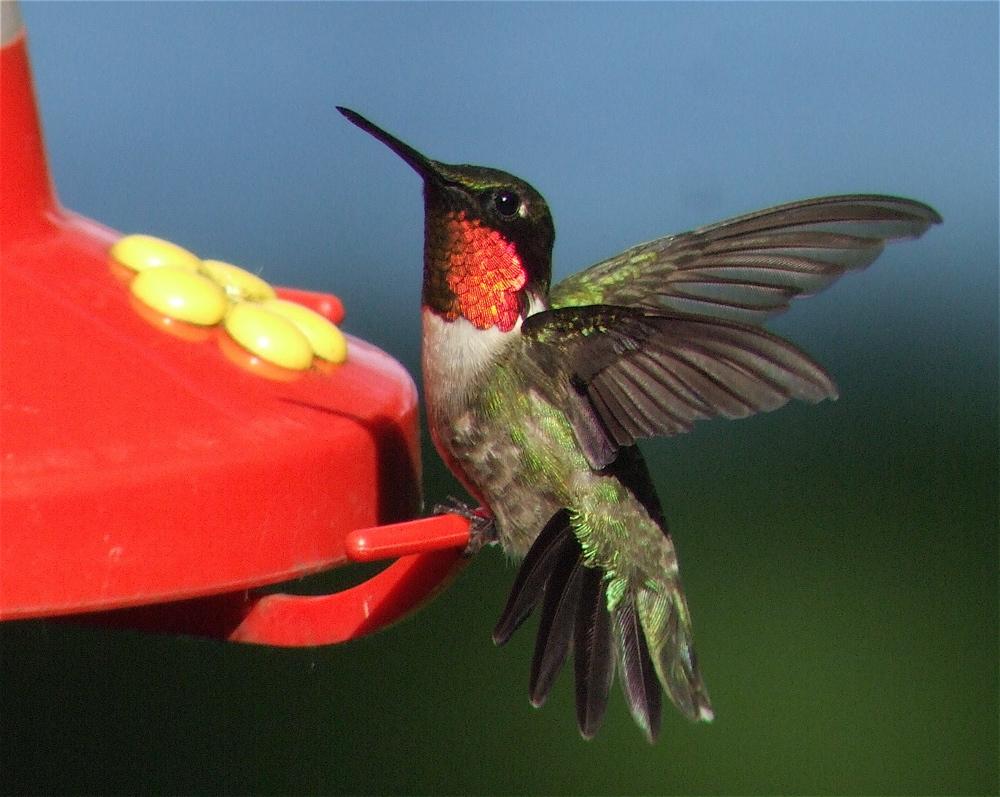 Ruby-throated Hummingbird Birdchick.JPG