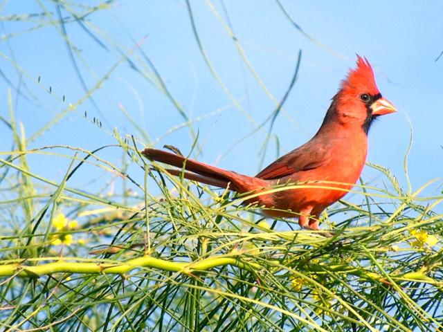 nfl cardinal.jpg