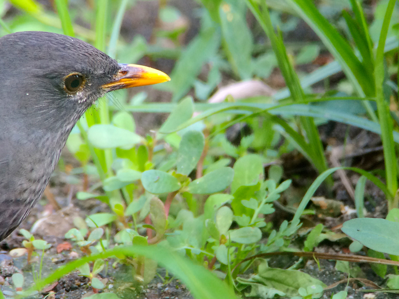 Blackbird working the grounds of our bed and breakfast.