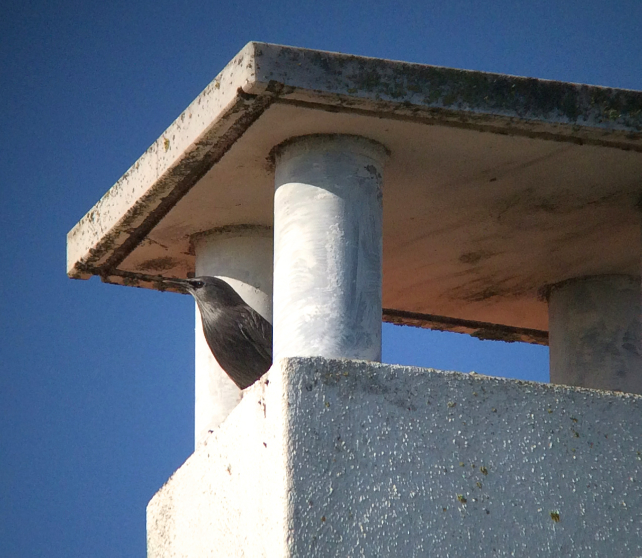 Check it out, it's a spotless starling--that's a thing, an actual species to see while in Portugal.