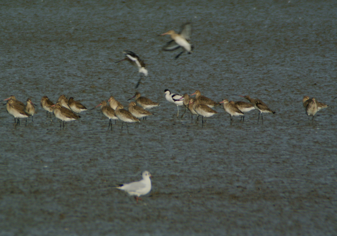 Black-tailed godwits, one pied avocet and one black-headed gull.