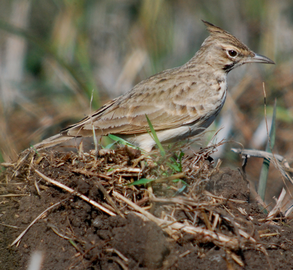 Crested larks surrounded us as we birded. Full disclosure, unlike other bird photos in this post, I digisocped this particular lark in Israel a few years ago. But I love crested larks and wanted to include one in this post.