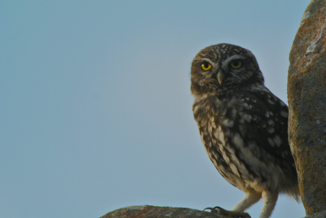 The only bird that was close! My lifer little owl. It was right next to the car and if any of us got out it would have flown of. This was digiscoped at sunset with me leaning my ATX 65mm on the open window of the car and digiscoping with my Nikon V1. There were easily 300 utter crap photos that preceded this one just barely in focus.