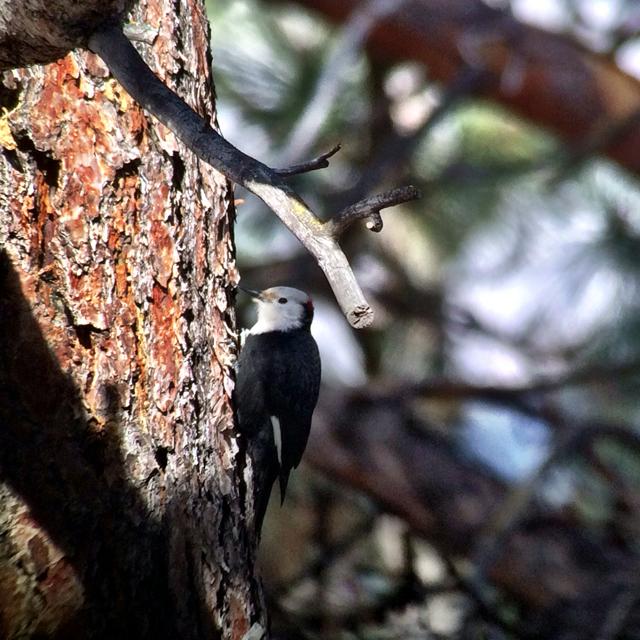 My lifer white-headed woodpecker.