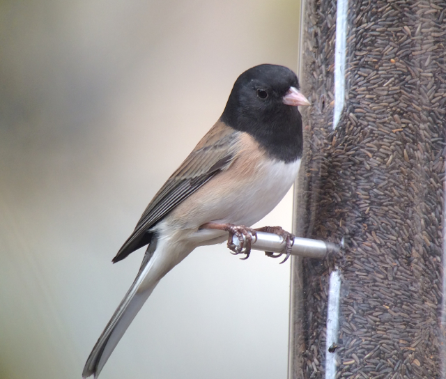 Oregon junco viewed while in the state of Oregon.