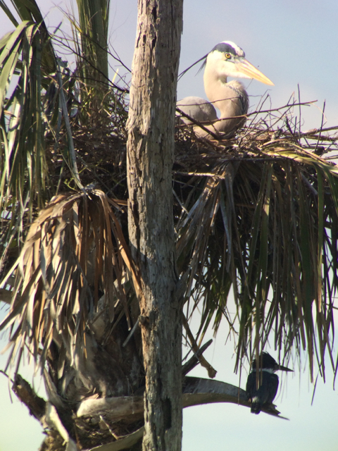 Not the greatest photo ever but most of the time I'm more interested in capturing something interesting rather than making it the perfect photo--like this belted kingfisher lurking under a great blue heron nest.