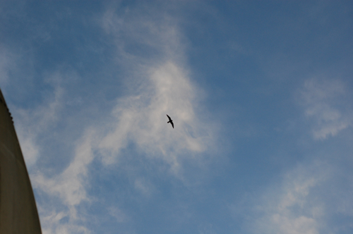 Bat falcon soaring over Canopy Tower in Panama as the sun sets.