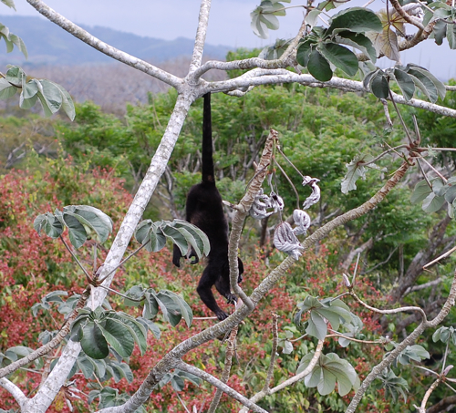Howler monkey in the trees just outside of Canopy Tower.