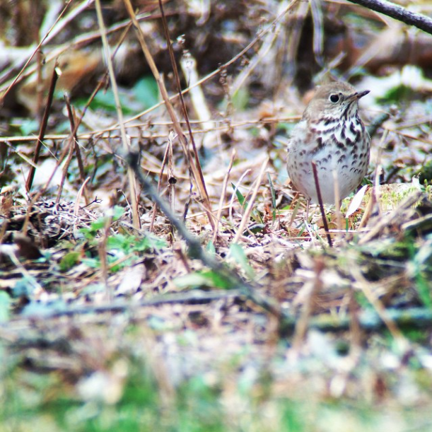 Hermit thrush was foraging around my beehives.