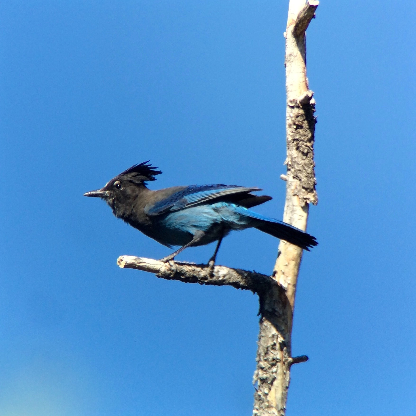 Stellar's Jays were all over the South Rim.