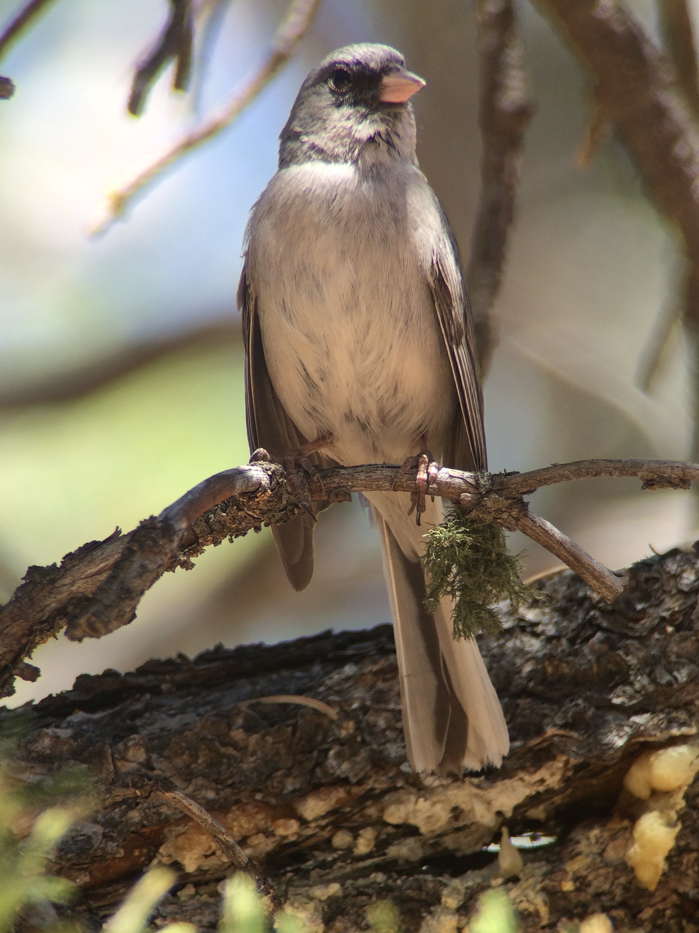 Dark-eyed juncos were all over but these were the southwestern race of red-backed juncos.