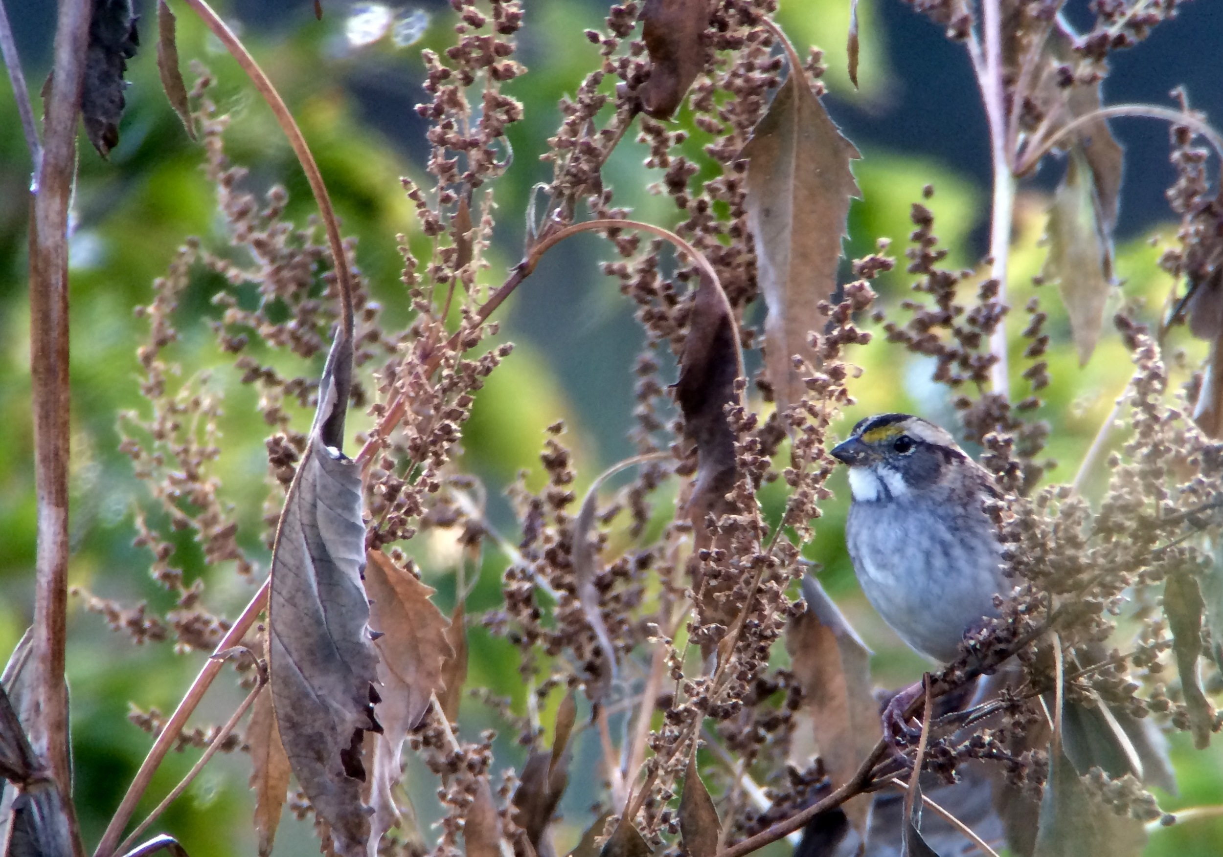 One of the hundreds of white-throated sparrows lurking about in my patch today.