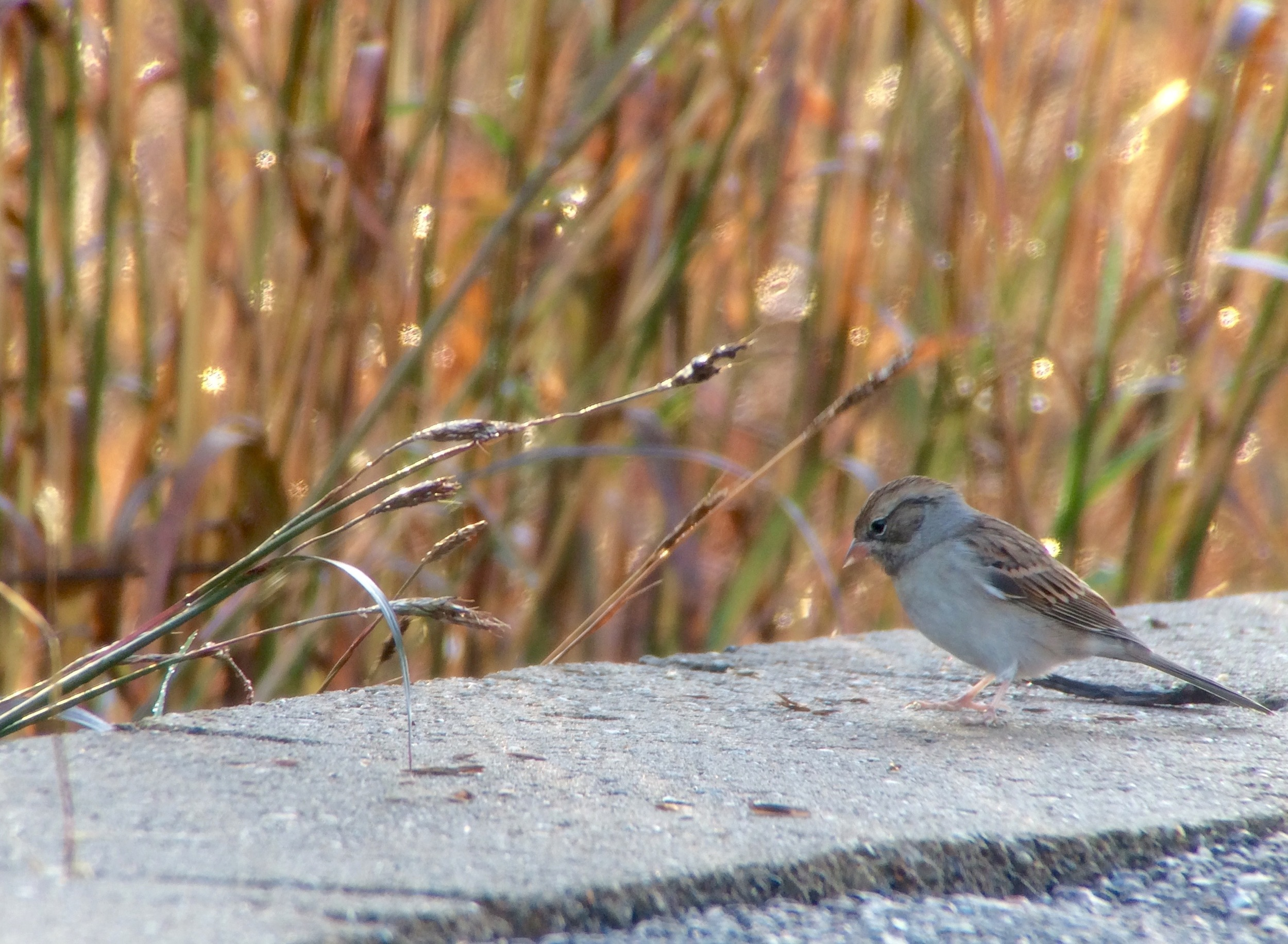 First winter chipping sparrow.