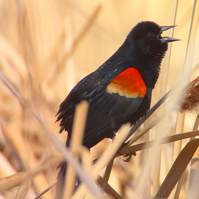 If they chose to do so, red-winged blackbirds would probably make an ok cheerleader.