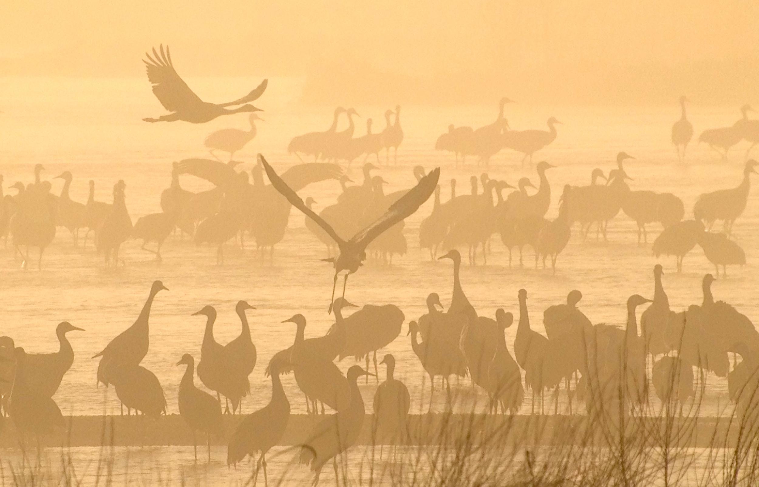 Cranes at dawn in Kearney, Nebraska.