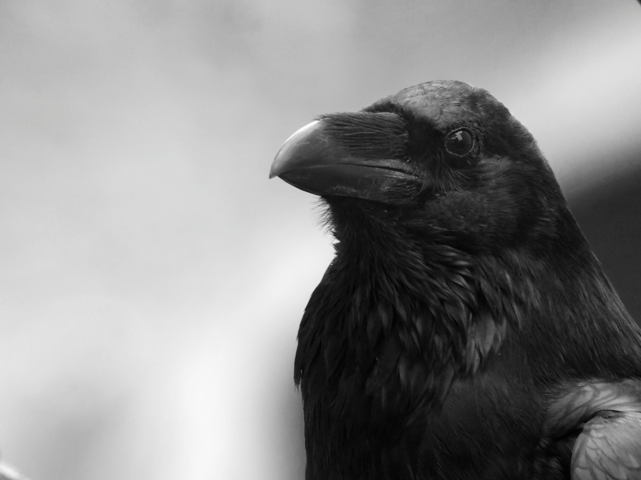 Beware the mind of a raven.