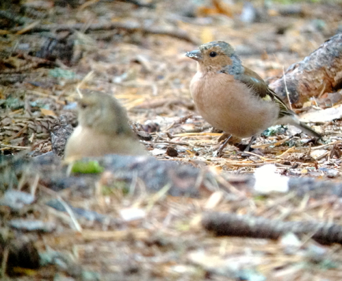 Chaffinches lurking around the campfire hoping for some scraps of food.