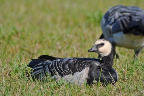 Barnacle goose.
