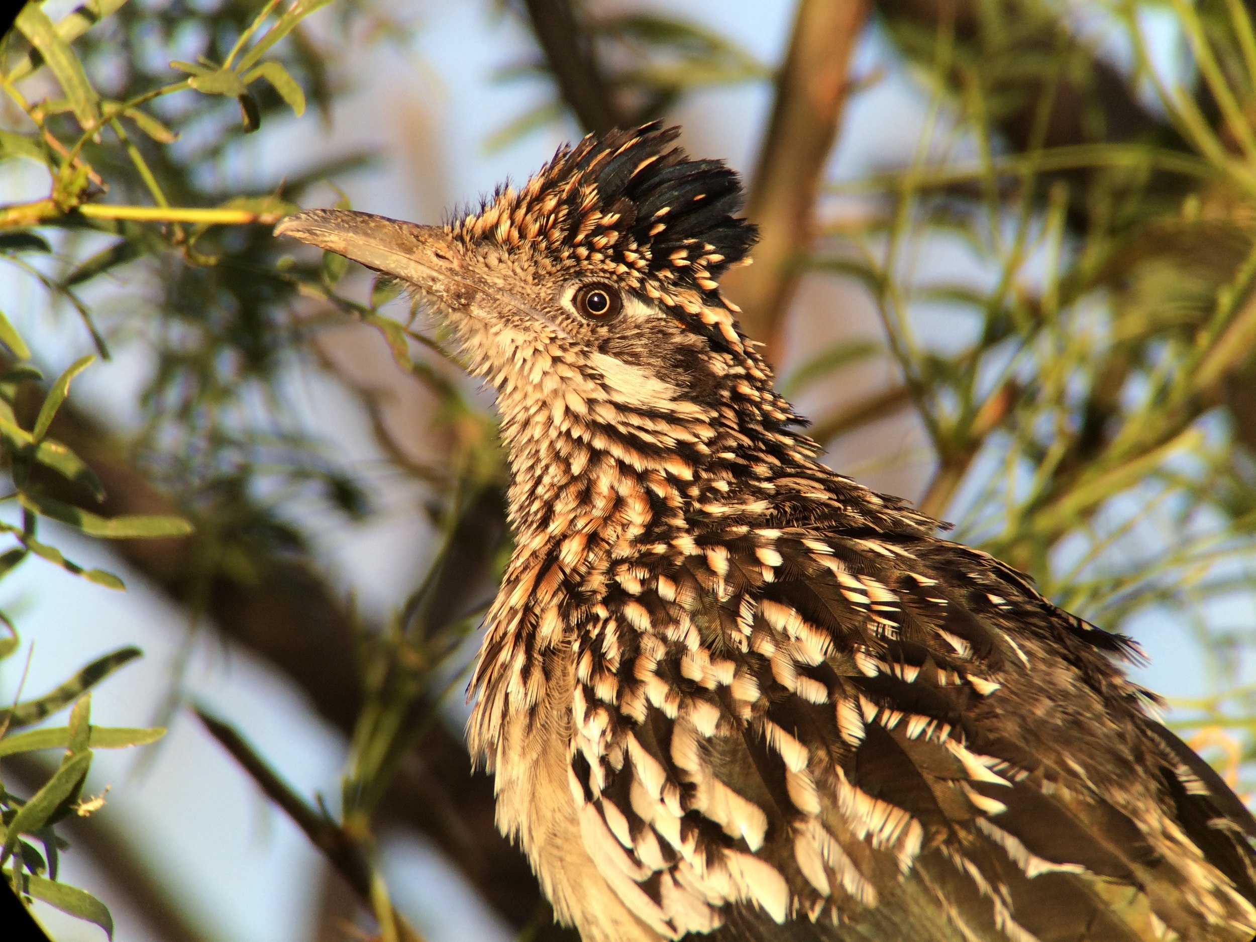 Greater roadrunner digiscoped with Swarovksi ATX 65mm scope, iPhone 5s and i5 adapter.
