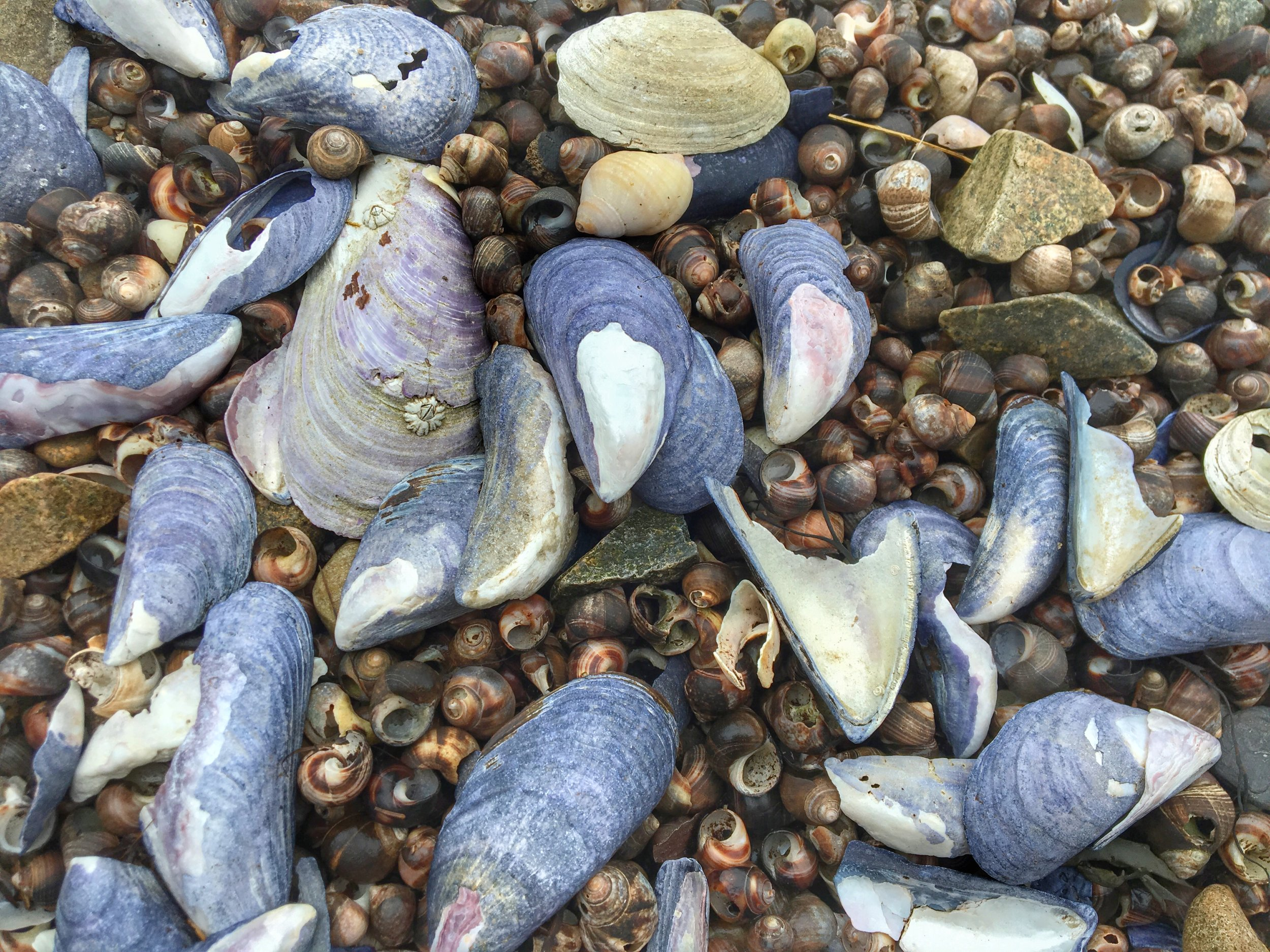 Periwnkle snail shells and what I think are blue mussel shells. Feel free to correct me, I'm not BivalveChick...but what a fun name to say out loud for whomever is.