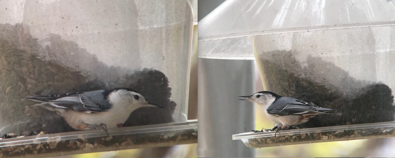 So here are the above images cropped. Both digiscoped with a Swarovski ATX 65mm scope. The nuthatch on the left is the iPhone 7 and the nuthatch on the right is the 6s.