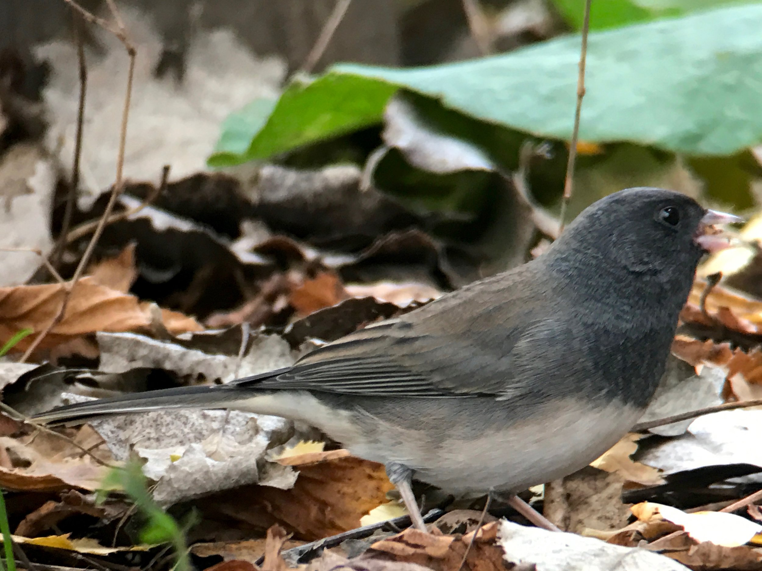 Same junco with the iPhone 7 plus with 2x telephoto, handheld up to a Swarovski spotting scope. No cropping.