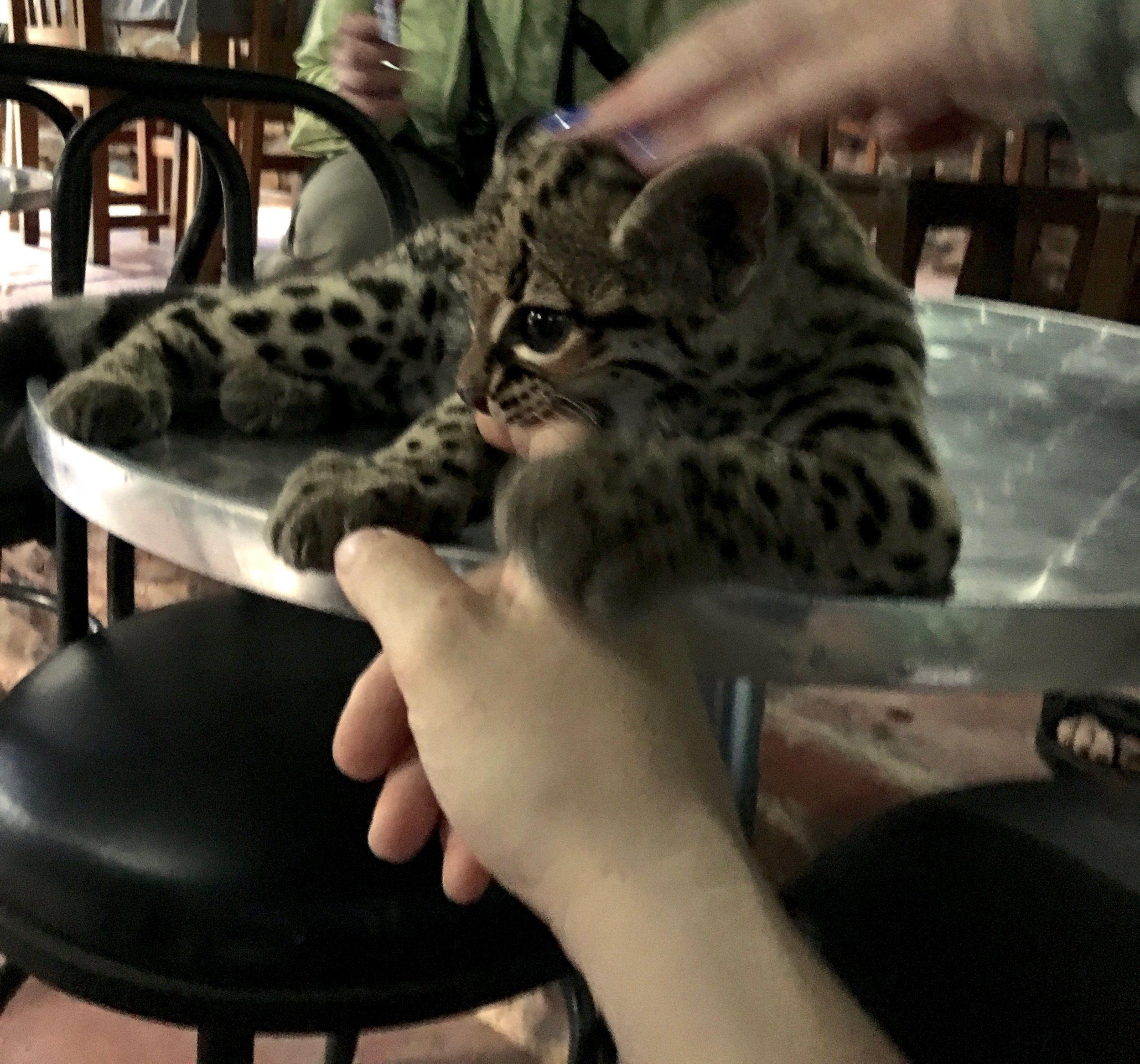 Nothing in life could have prepared me for the honor of being chewed on by an ocelot.