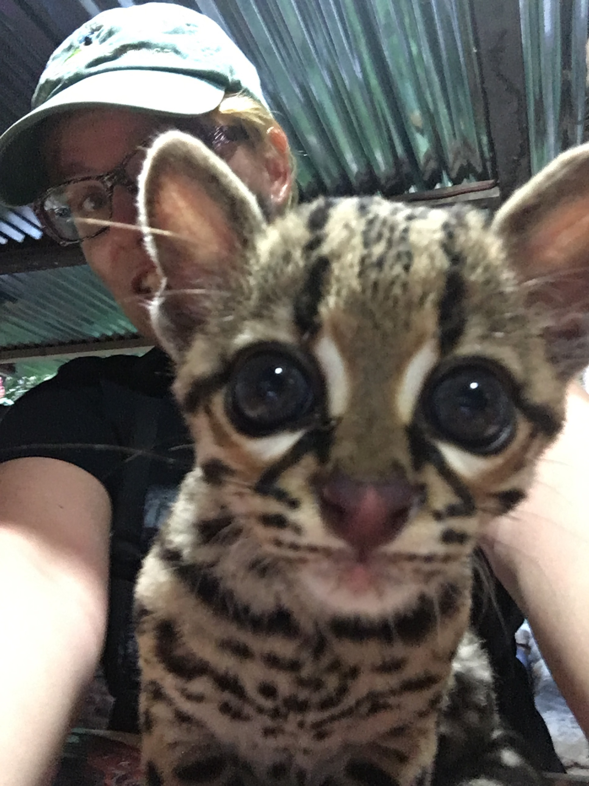Right after this was taken, the young ocelot noticed its own face in the front screen of my phone. It pressed its ears back, gave a tiny growl and wanted nothing to do with me after that. Smart cat.
