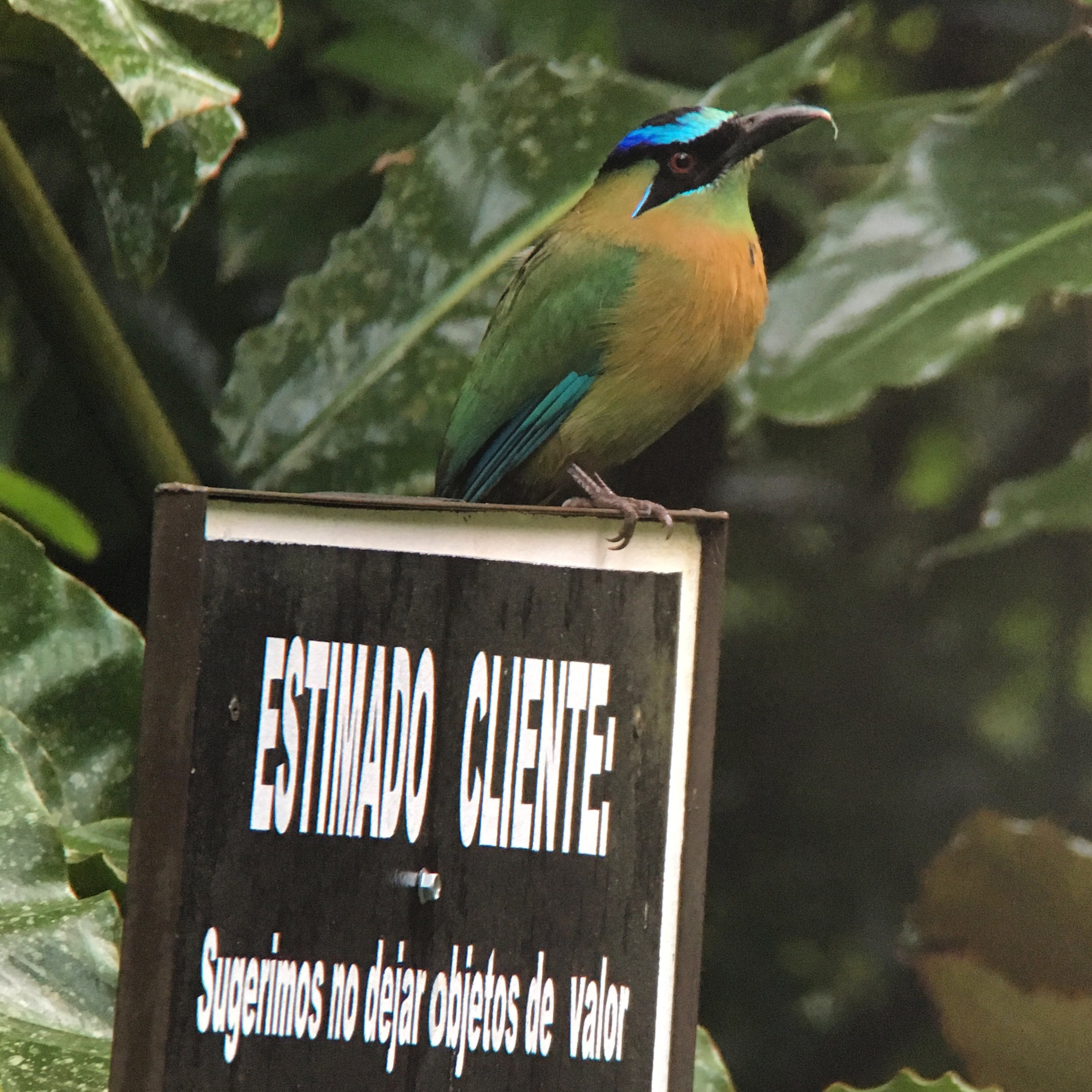 The greeter at  Panacam Lodge  in Honduras, a blue-diademed motmot (also known as Lesson's motmot on eBird).