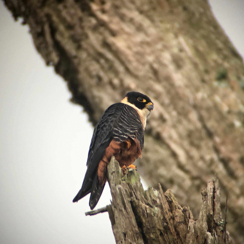The adorable bat falcon.