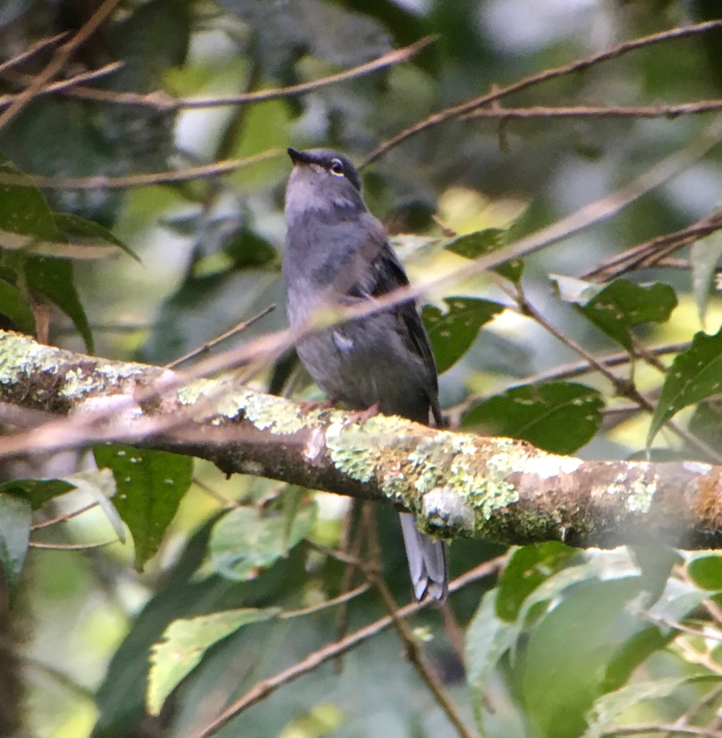 A slate colored solitaire. What they lack in color, they more than make up for in song. Check out some of their songs over at  Xeno-Canto .