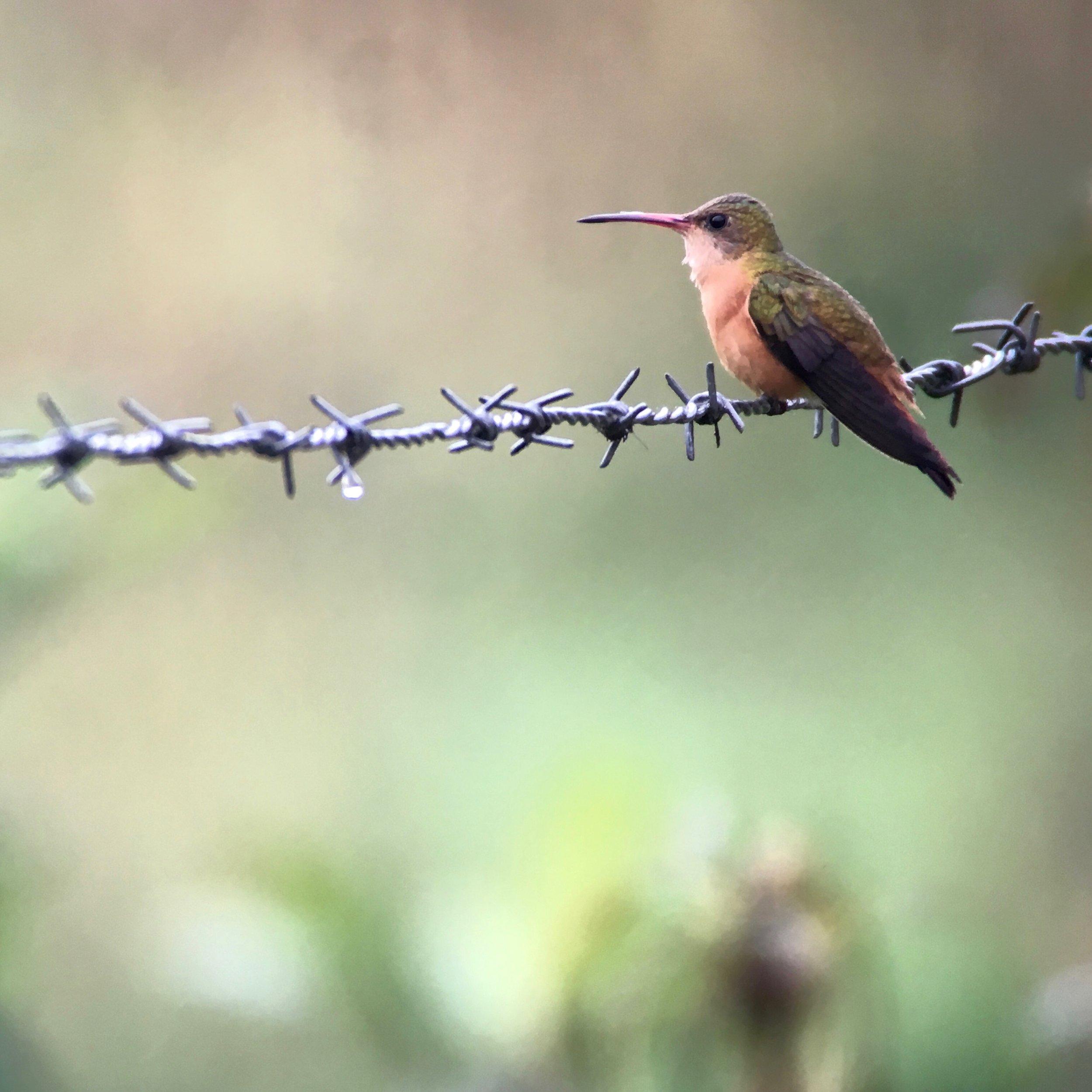 Cinnamon Hummingbird.