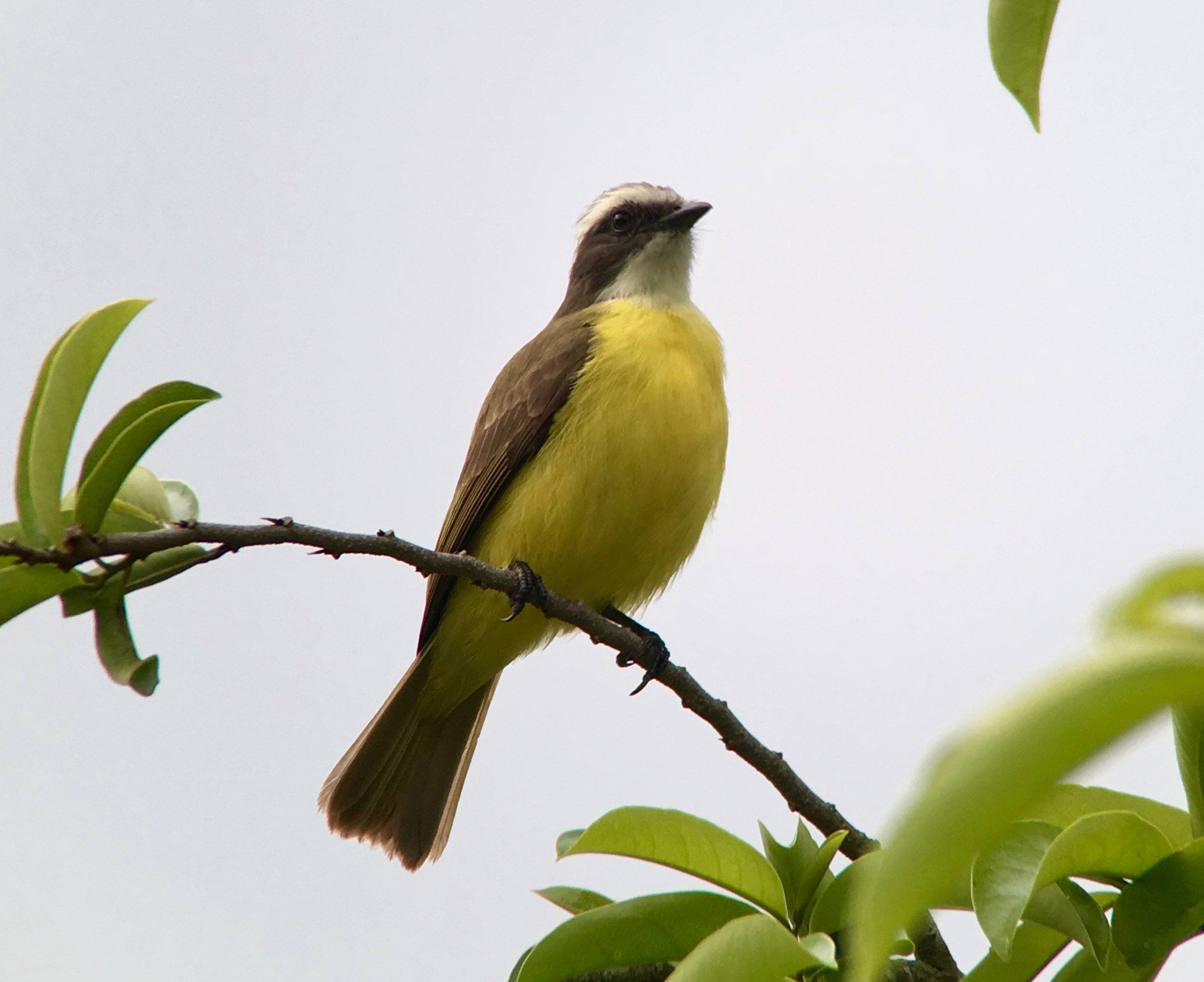 The social flycatcher is a daintier version of the great kiskadee you can see in south Texas.