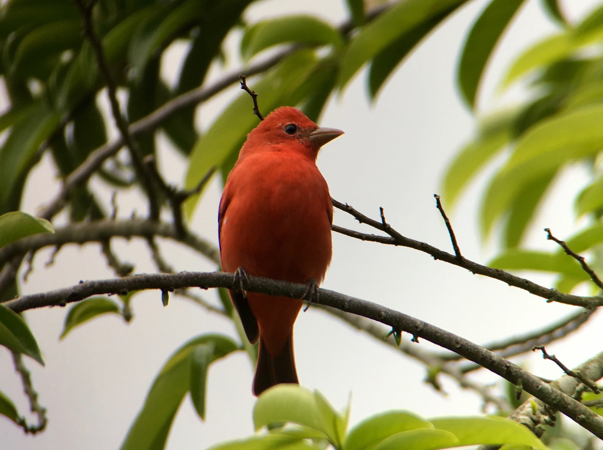 A summer tanager. Since it was early March when this was taken, it would be in the US in just over a month.