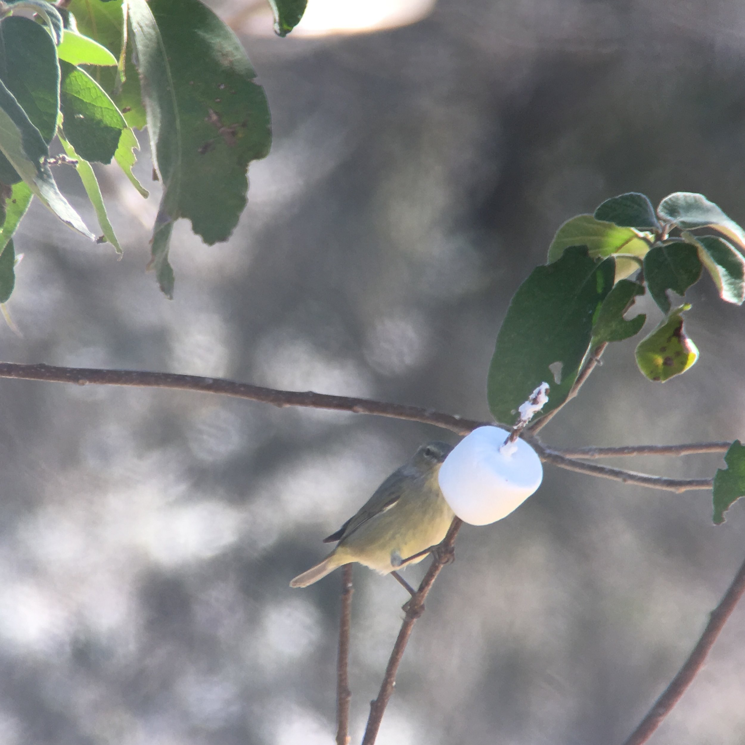 Orange-crowned warbler chowing down an a marshmallow. I know, it's weird.