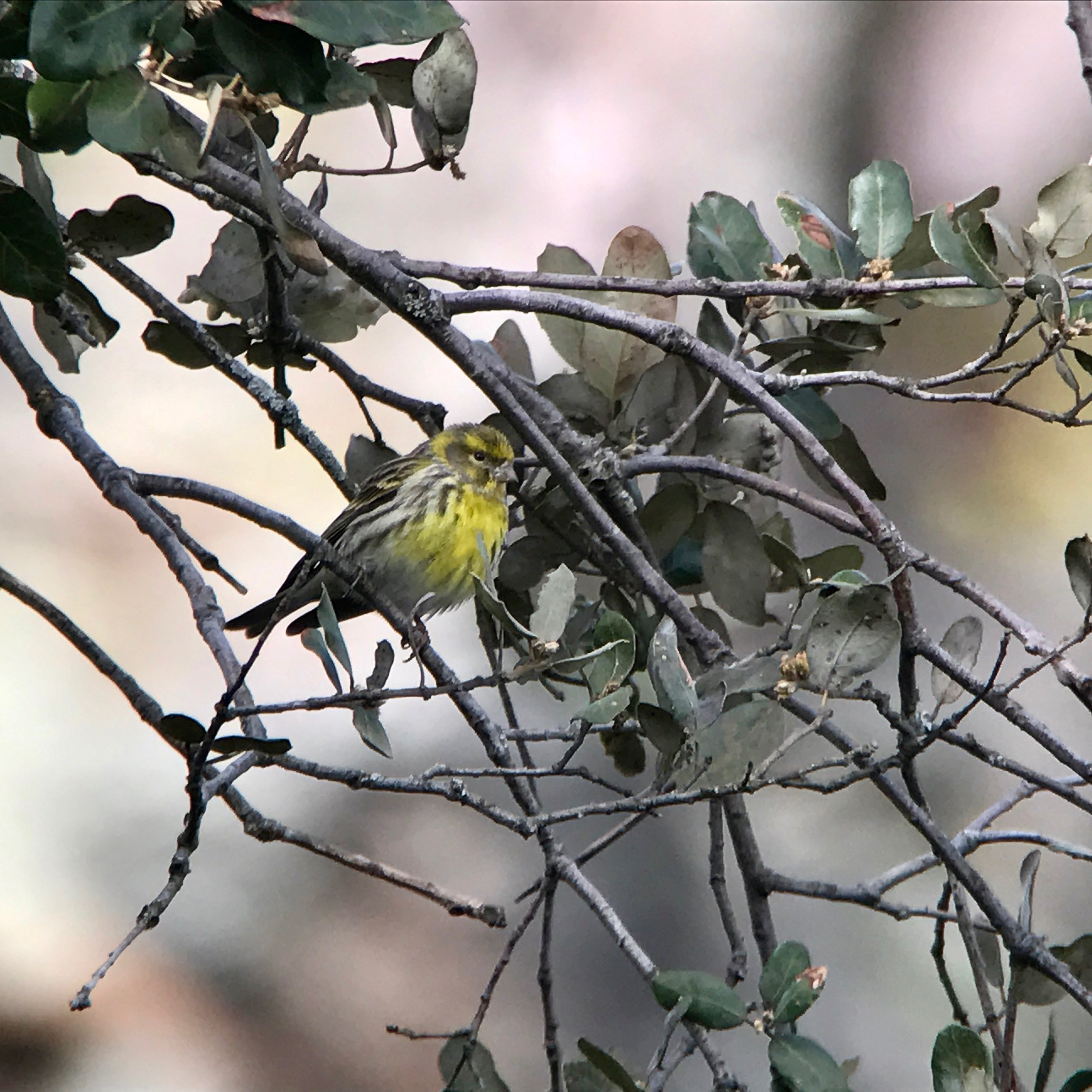 European serins serenaded us on the trails in the national park.