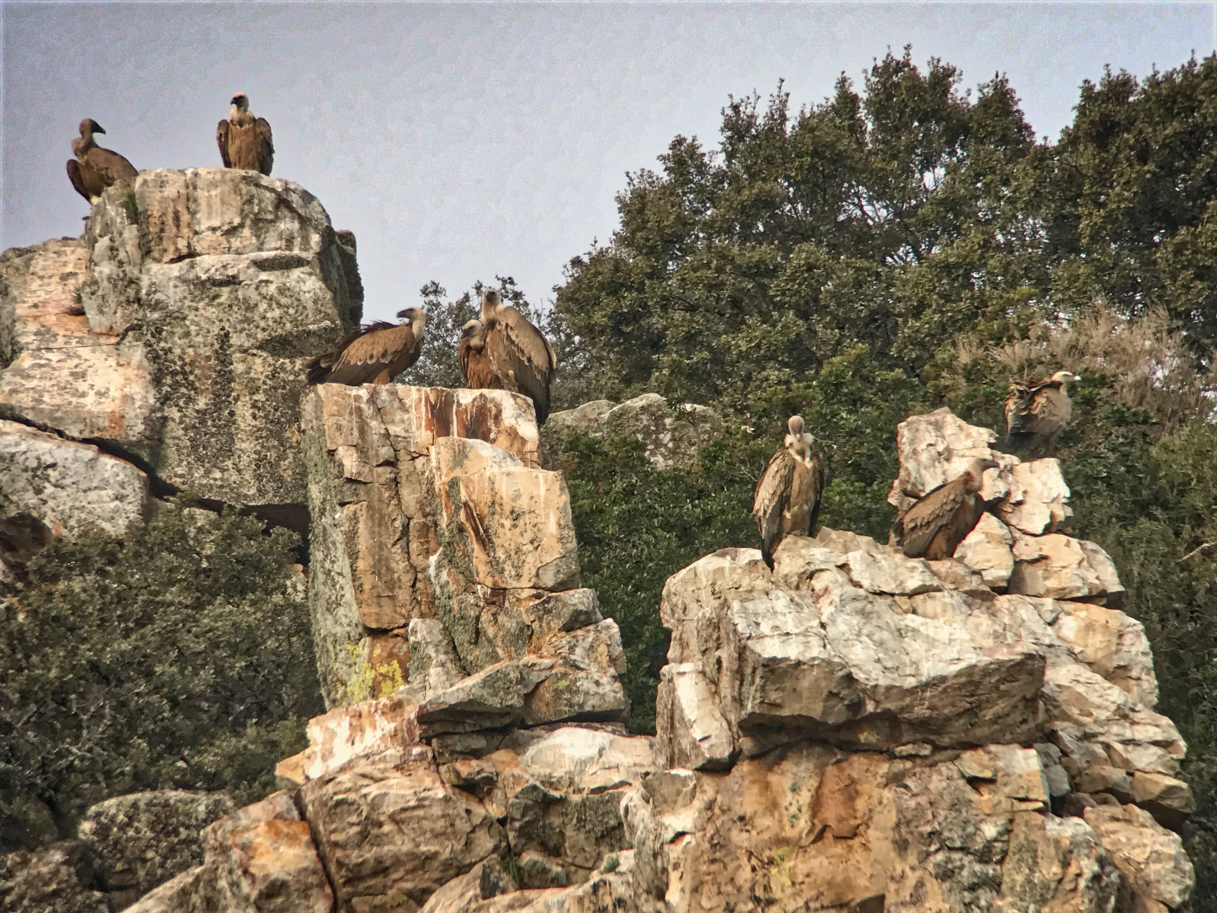 Griffon vultures roosting on one of the may rocky cliff faces in Monfragüe.