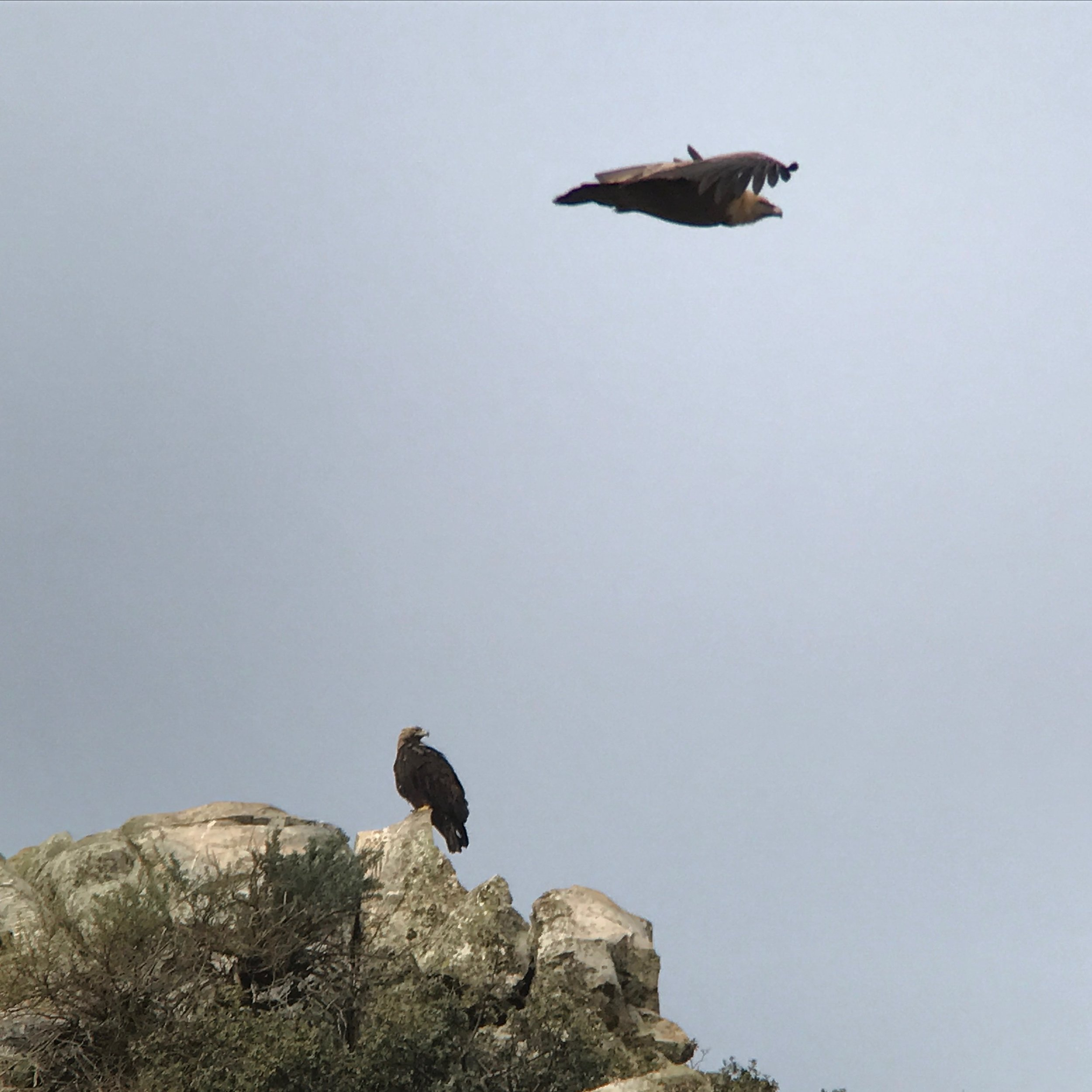 One of the prized species in this region is the Spanish imperial eagle. My picture got photobombed by a griffon vulture.