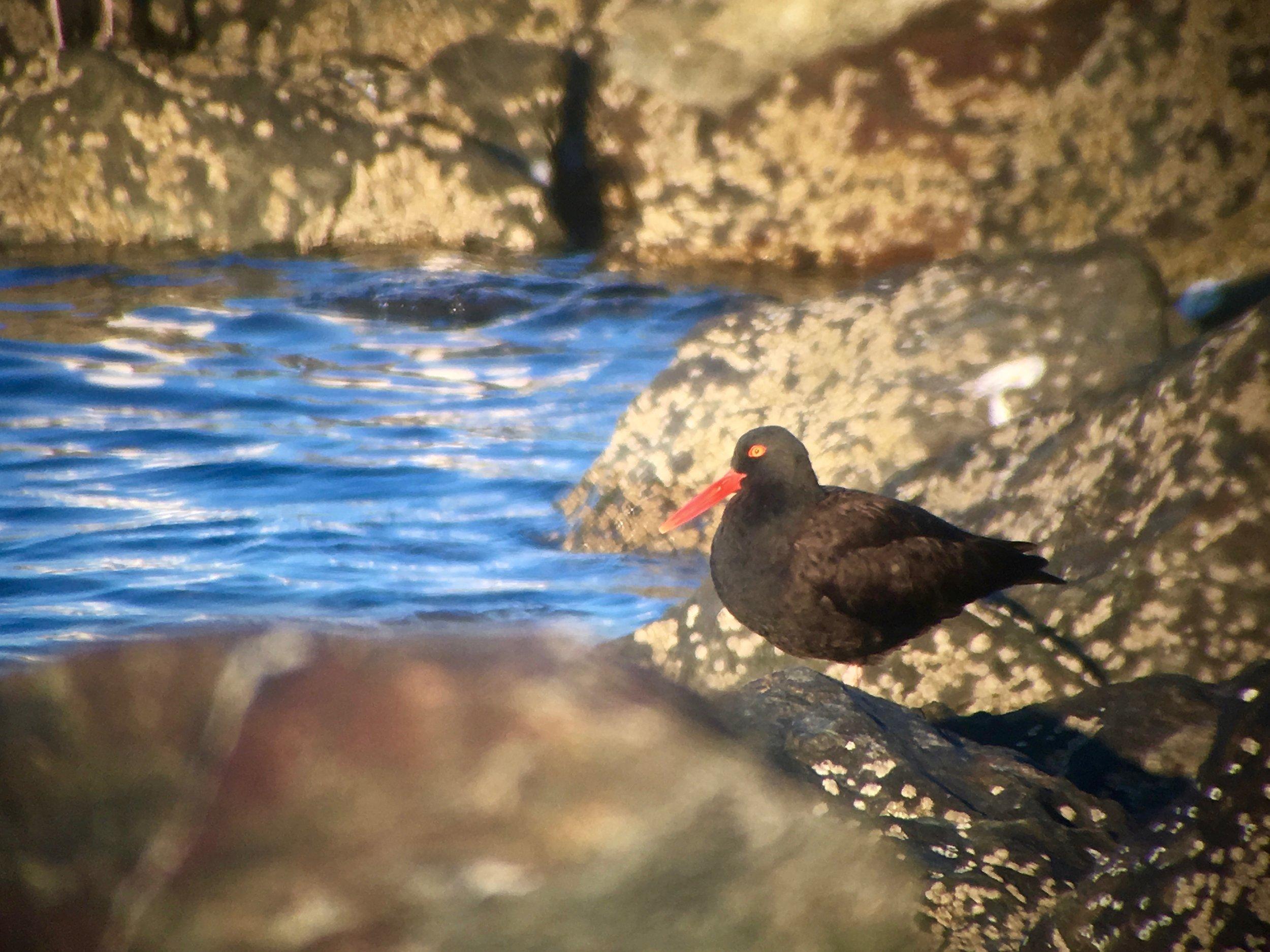 Black oystercatcher seen along the Homer Spit.