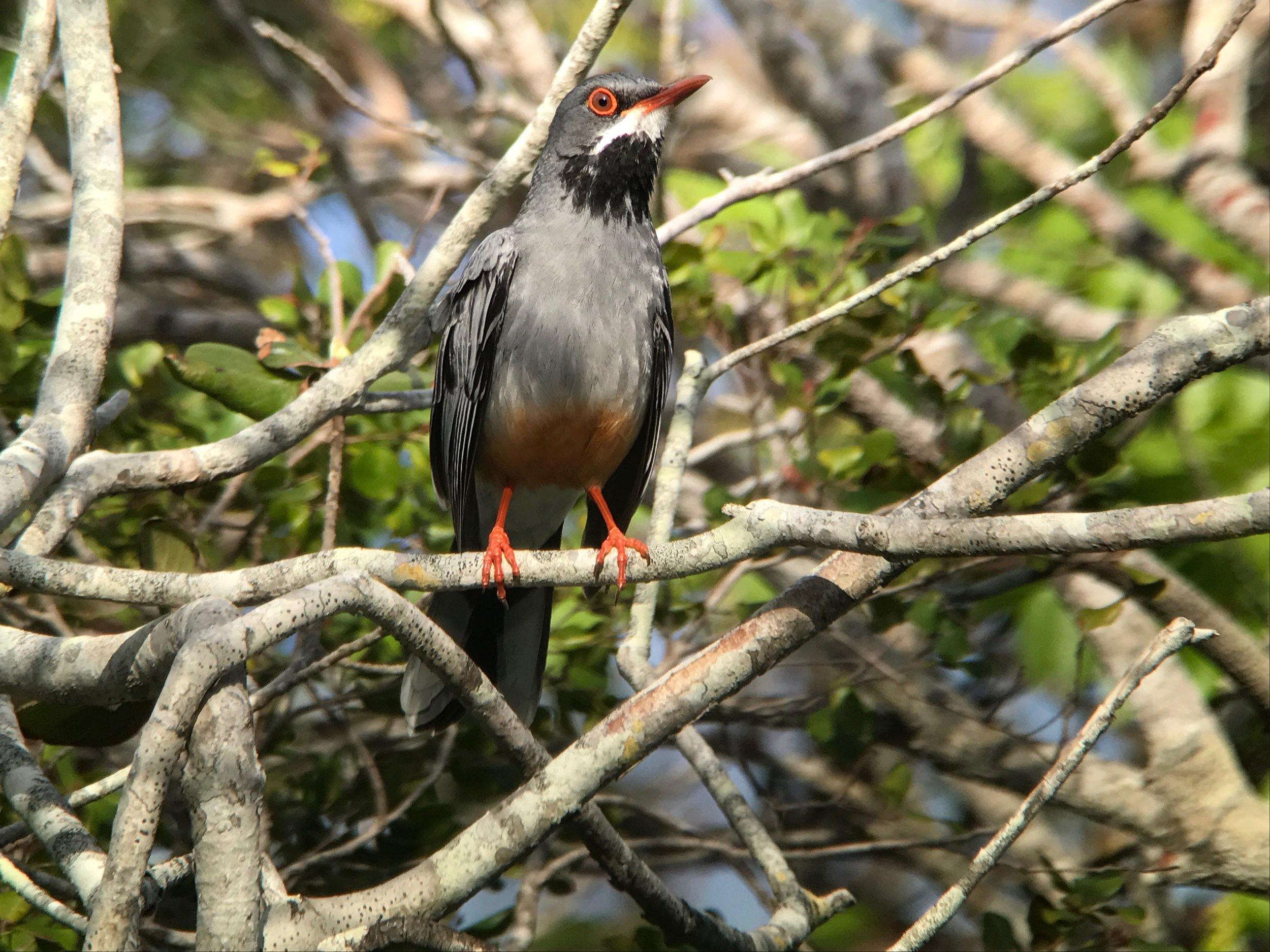 Red-legged Thrush is probably the most common bird we saw on the island.