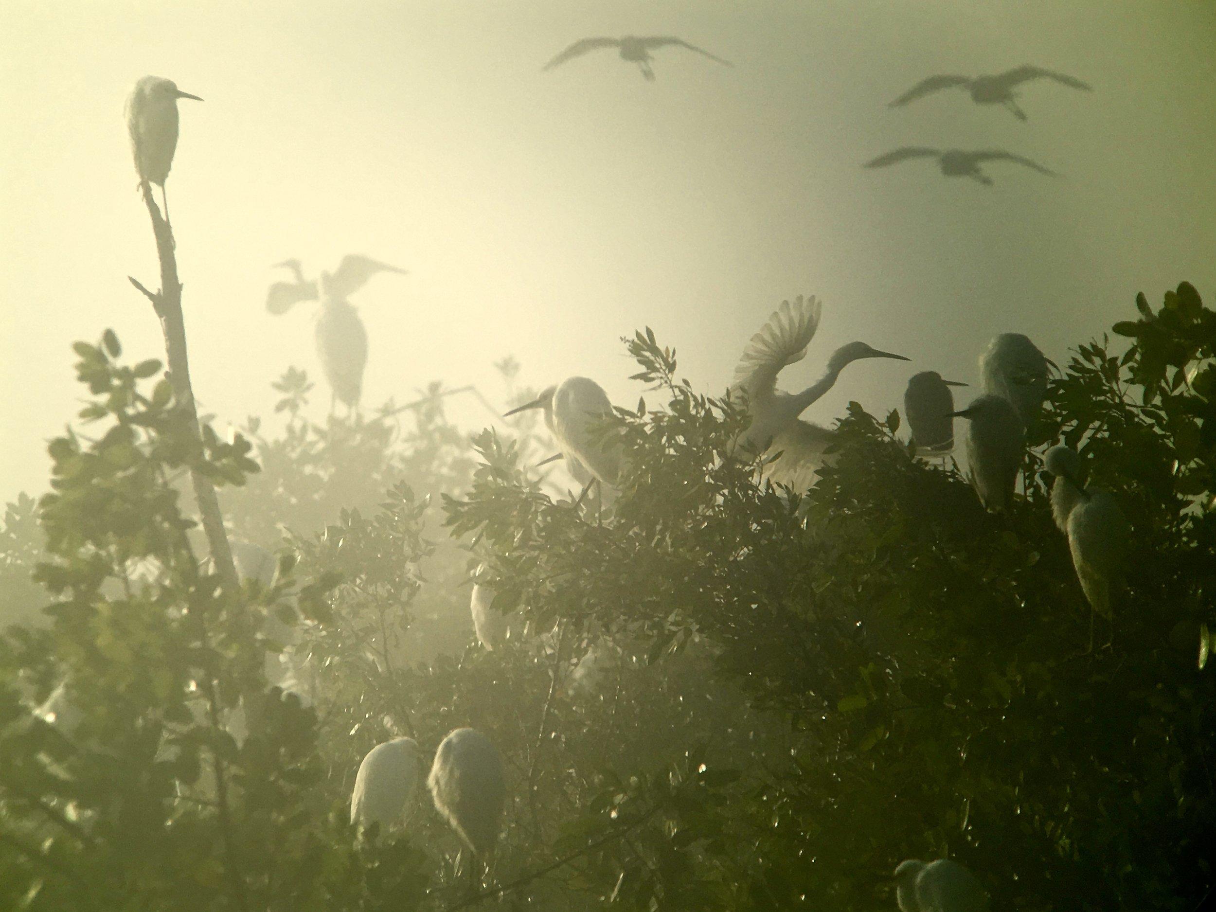Egrets old timey.jpg