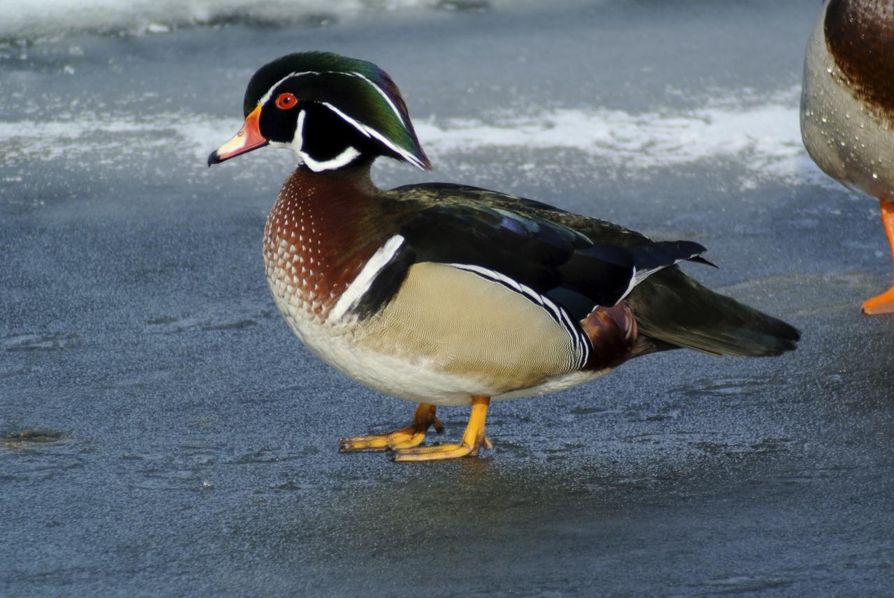duck wood.jpg