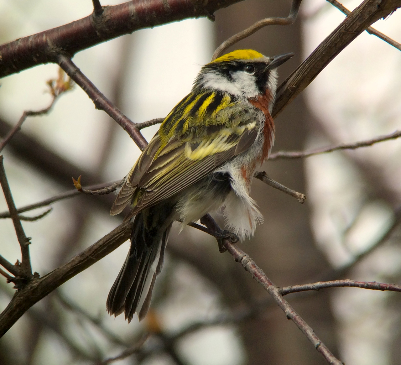 """The chestnut-sided warbler migrates to the United States to raise their chicks, then heads to """"shithole"""" countries like Haiti and El Salvador every year."""