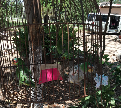 White-fronted amazons in a cage. One is plucking its feathers.