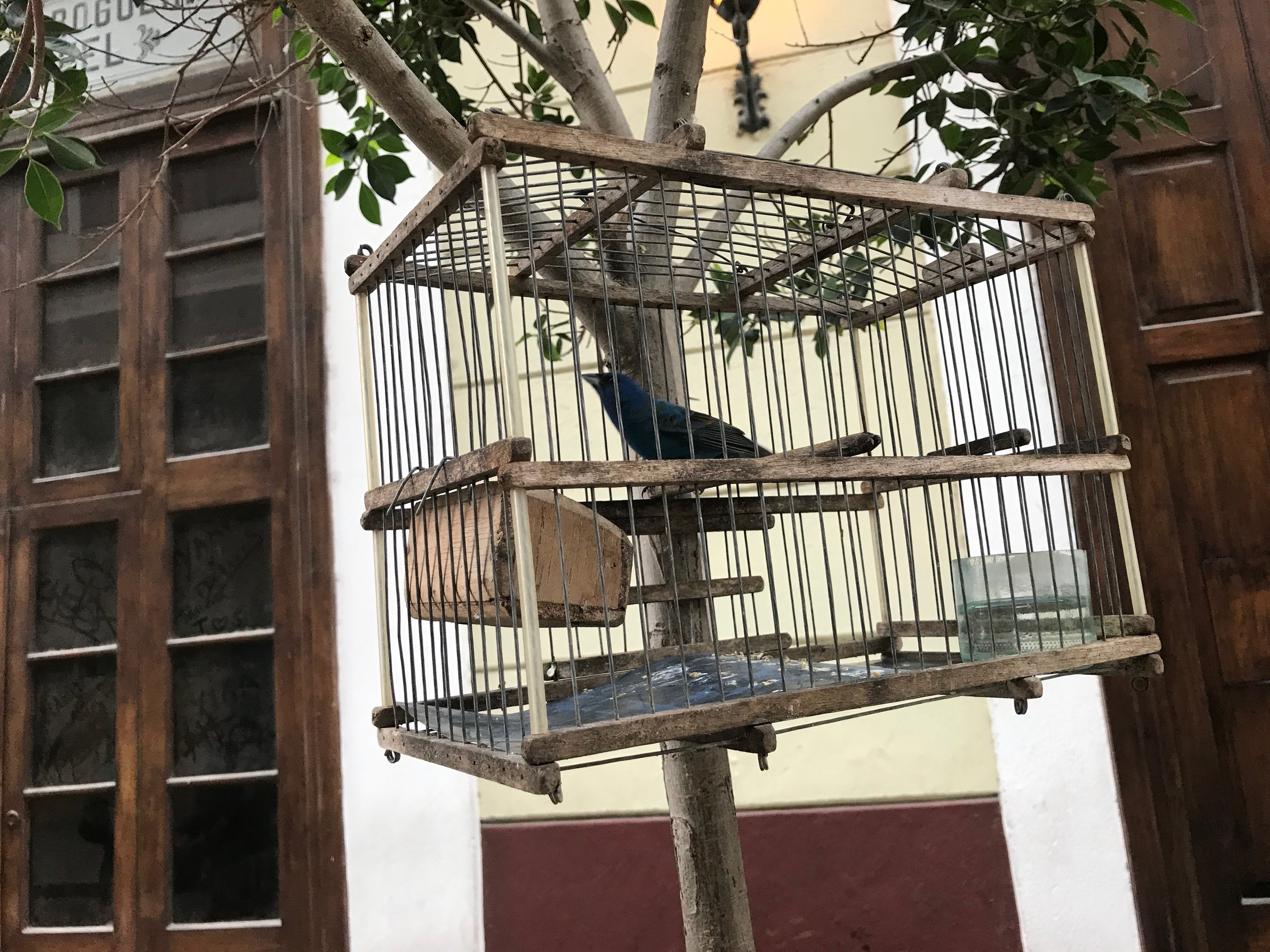 An indigo bunting for sale outside of my hotel in Havana. One of many seen on my trip to Cuba last year.