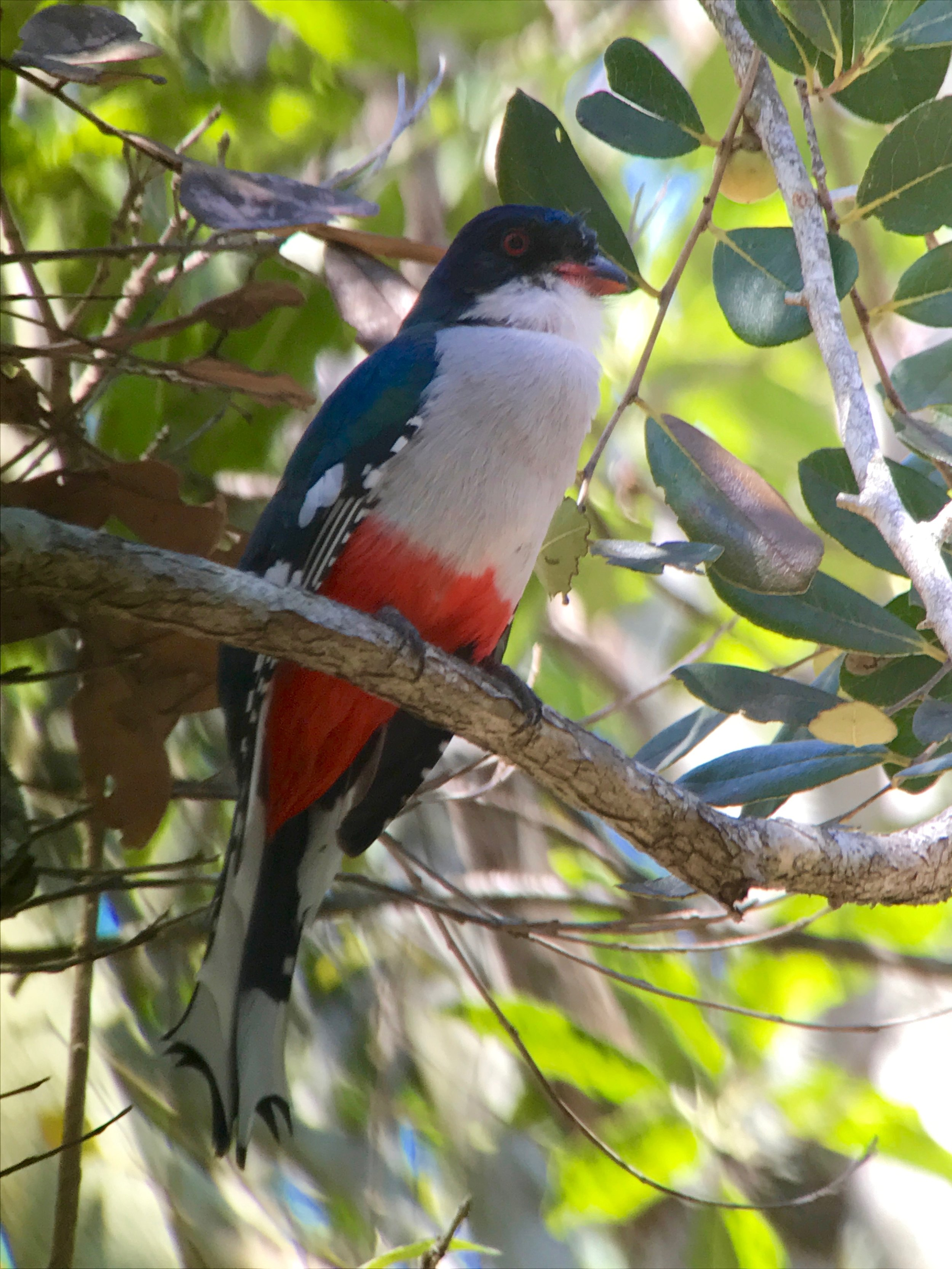 The Cuban trogon cannot be caged.