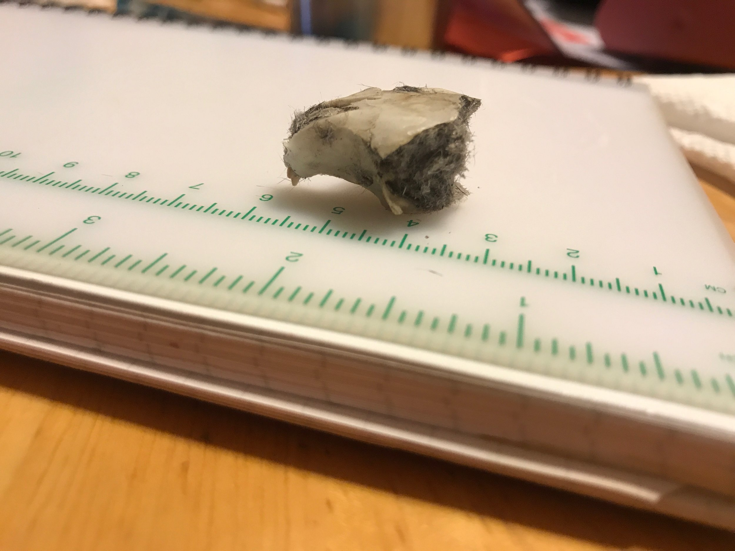 Part of a gray squirrel skull found in a barred owl pellet.
