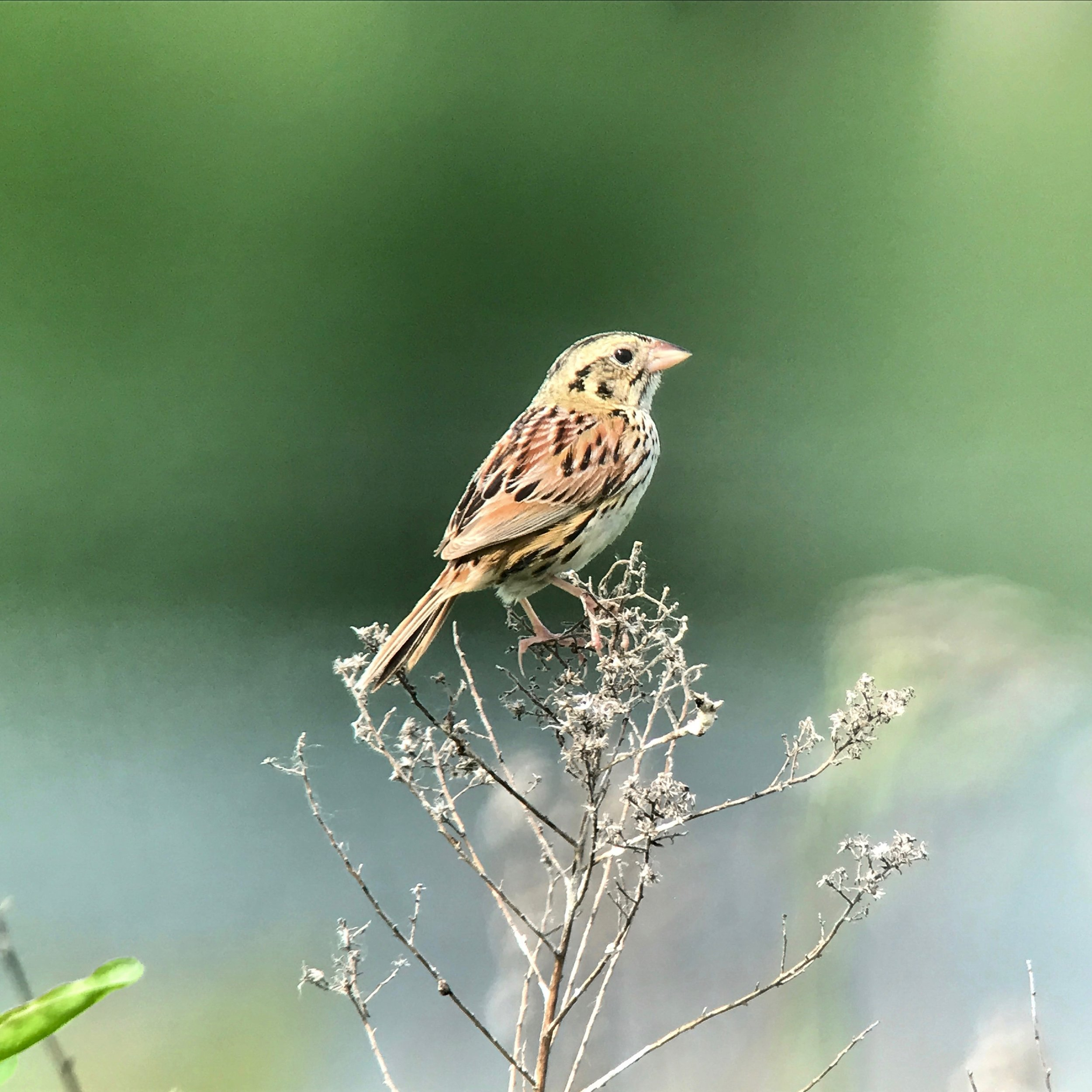 Henslow's Sparrow.jpg