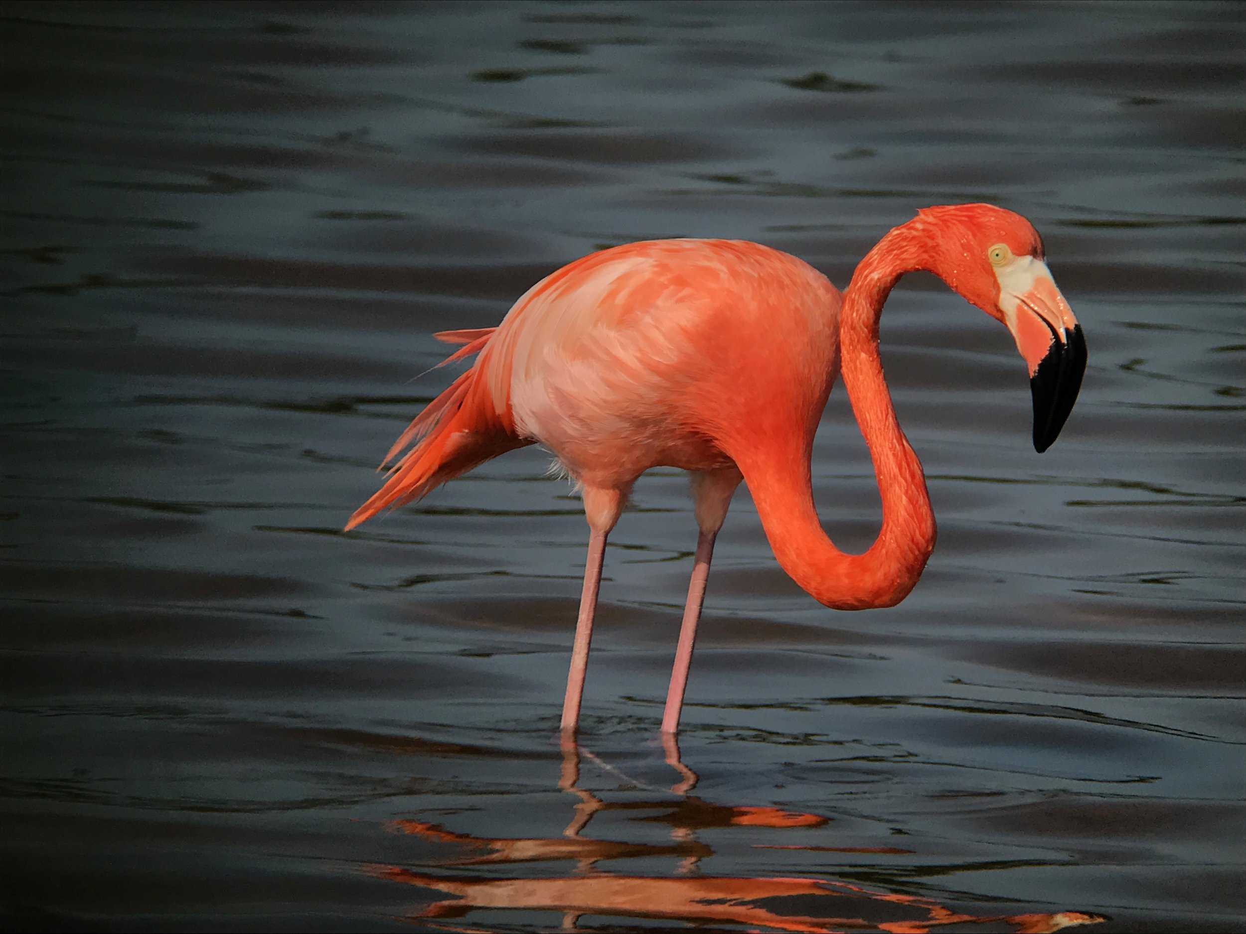 While taking pictures of feeding American Flamingos in Cayo Coco in Cuba, our guides told us they would be happy to make noise so the birds would fly off and we could get flight shots of the birds. We declined.