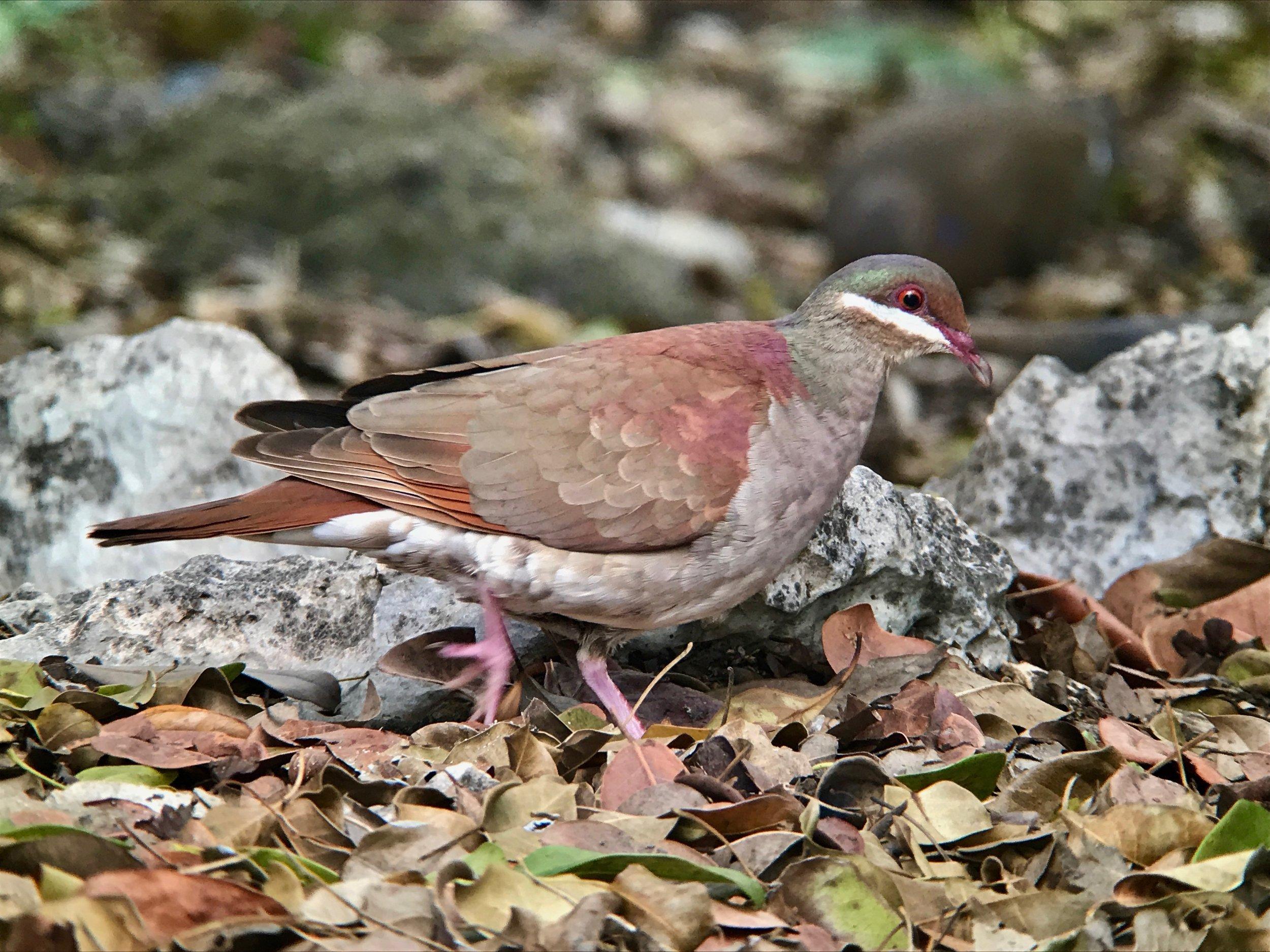 Key West quail-dove.
